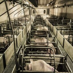 Meat for slaughterhouse Industrial
