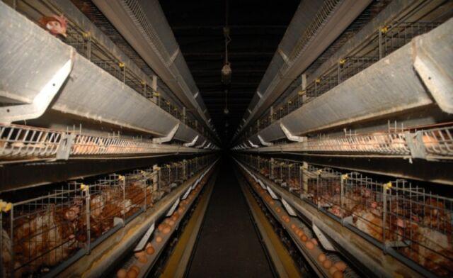 Carne da macello | gli allevamenti parte 1